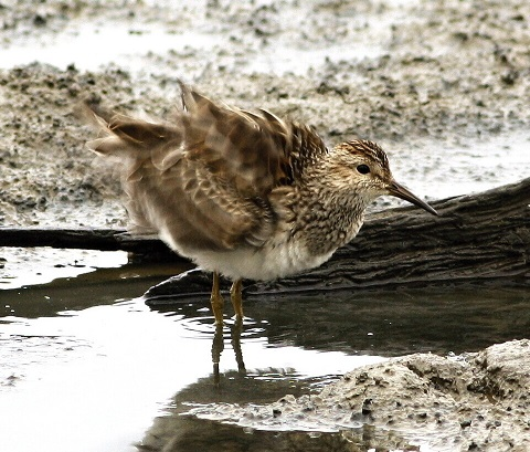 Calidris melanotos 2 480