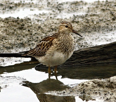Calidris melanotos 3 480