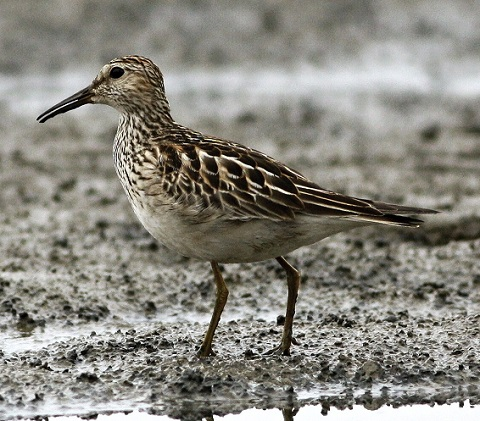 Calidris melanotos 4 480