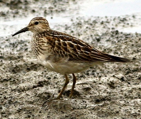 Calidris melanotos 480