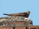 Krahujec obecný, samička