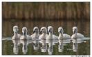 Mláďata labutě velké