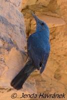Skalník modrý