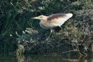 Volavka hnědohřbetá
