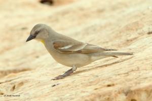 Vrabec hnědoramenný