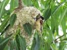 Moudivláček lužní u hnízda