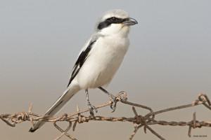 ssp. aucheri