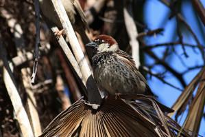 Vrabec pokřovní